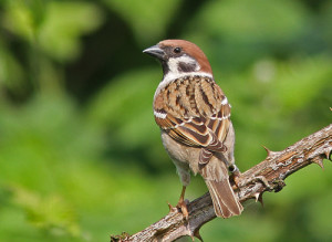 Tree Sparrow - the iconic bird of Beddington Farmlands (by Peter Alfrey)