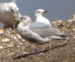 glaucous-winged_gull-dscn1760-gm