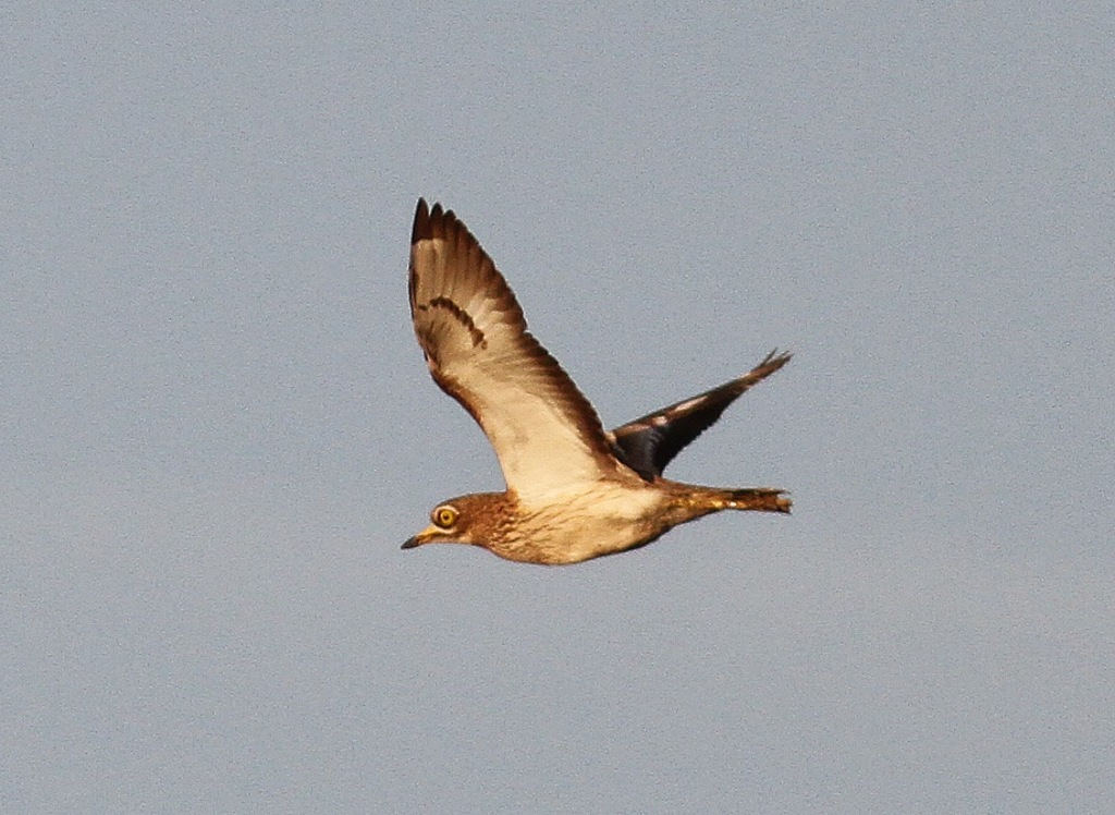 10a 210415- stone curlew 052
